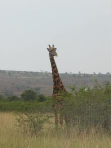 Akagera National Park: Call on giraffe when you want to know what is coming in life.